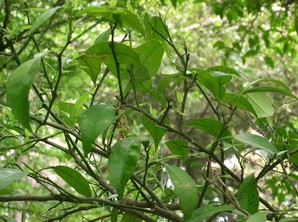 Plantation du yuzu