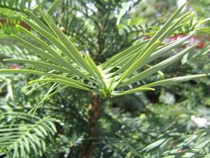 <h2 >Culture et entretien du <em>Wollemia nobilis</em></h2>