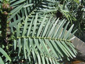 <h2 >Multiplication du <em>Wollemia nobilis</em></h2>