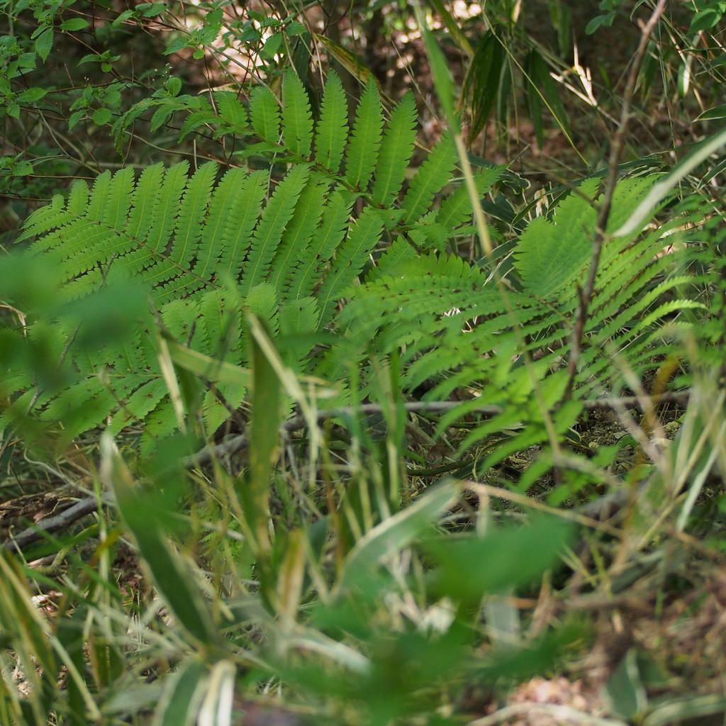 Onoclea orientalis (syn. Matteucia o.) Espèce type