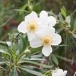 <em>Carpenteria californica</em>