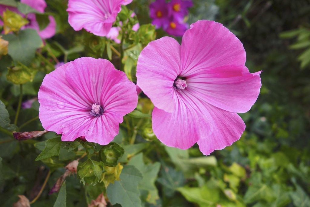 Mauve : planter et cultiver – Ooreka