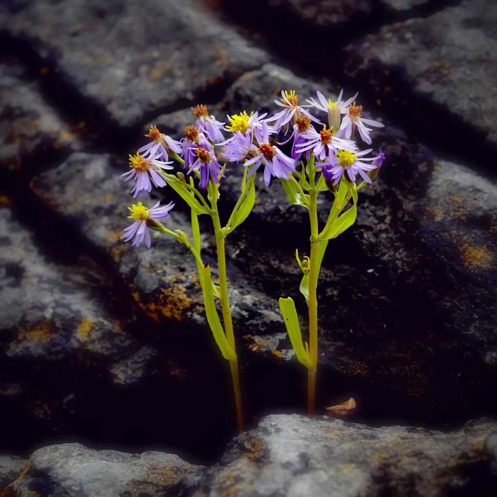 Aster pannonicum