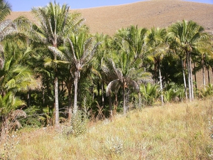 Plantation du <em>Beccariophoenix</em>