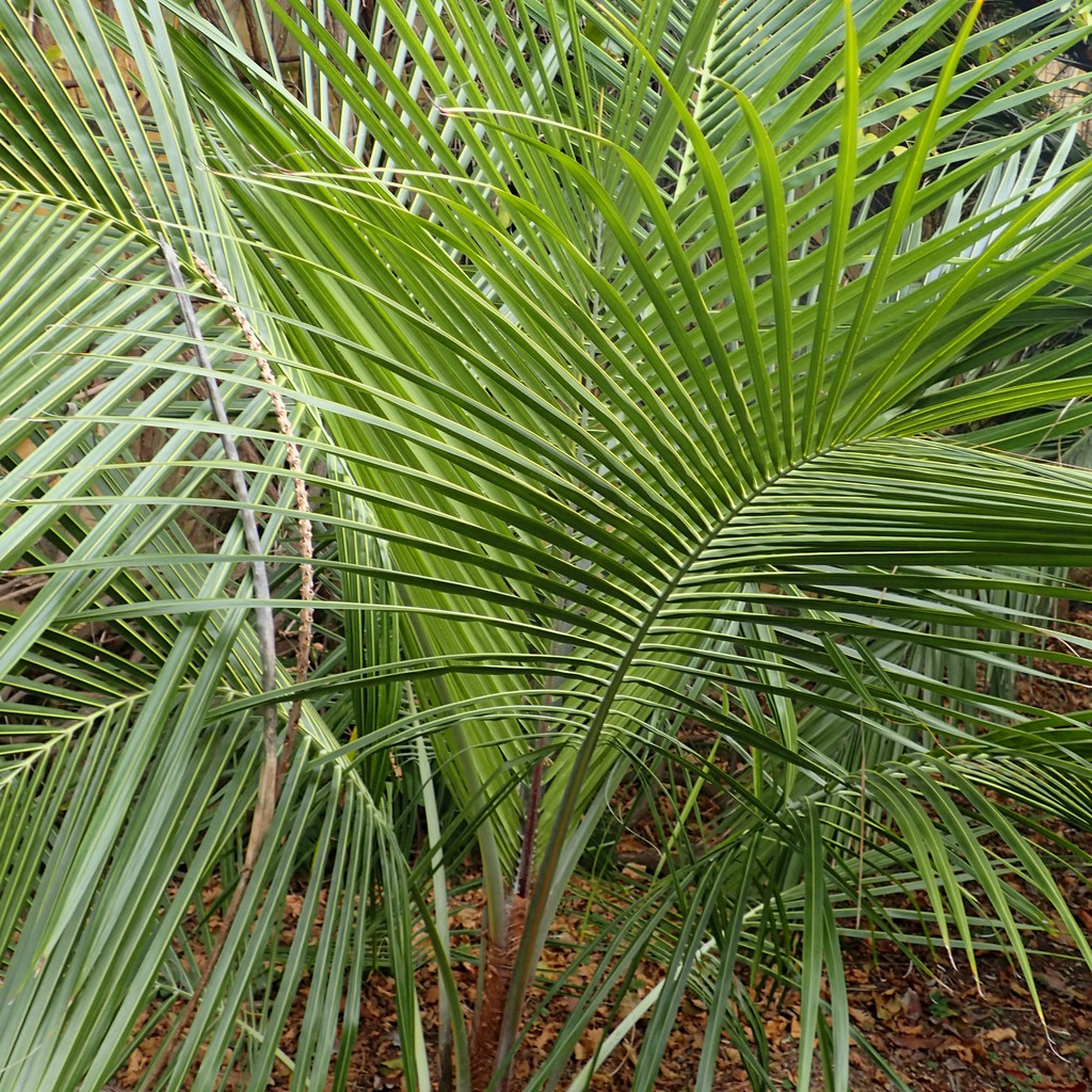 Espèce la plus rustique Palmier de Manarano (Beccariophoenix madagascariensis)