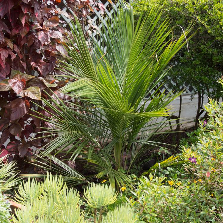 Espèce des hauts-plateaux Palmier d'Alfred, High Plateau Coconut Palm (Beccariophoenix alfredii)