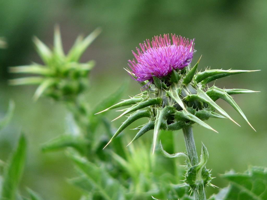 лекарственные травы для снижения холестерина в крови