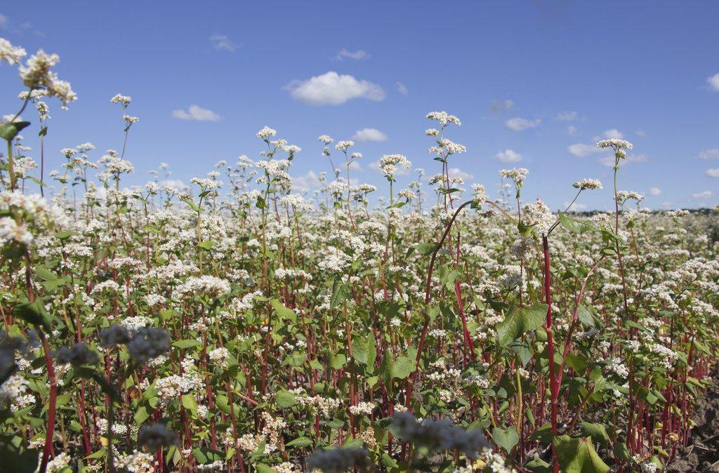 Sarrasin : semer et récolter - Ooreka