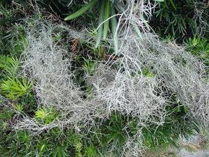 Culture et entretien de <em>Tillandsia usneoides</em>