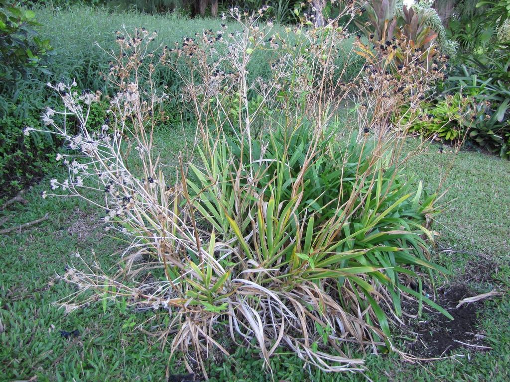 Belamcanda chinsnsis planter et entretenir ooreka for Ou trouver de belles plantes artificielles