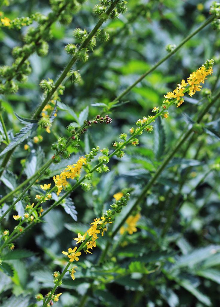 Aigremoine planter et entretenir ooreka for Plante verte vivace