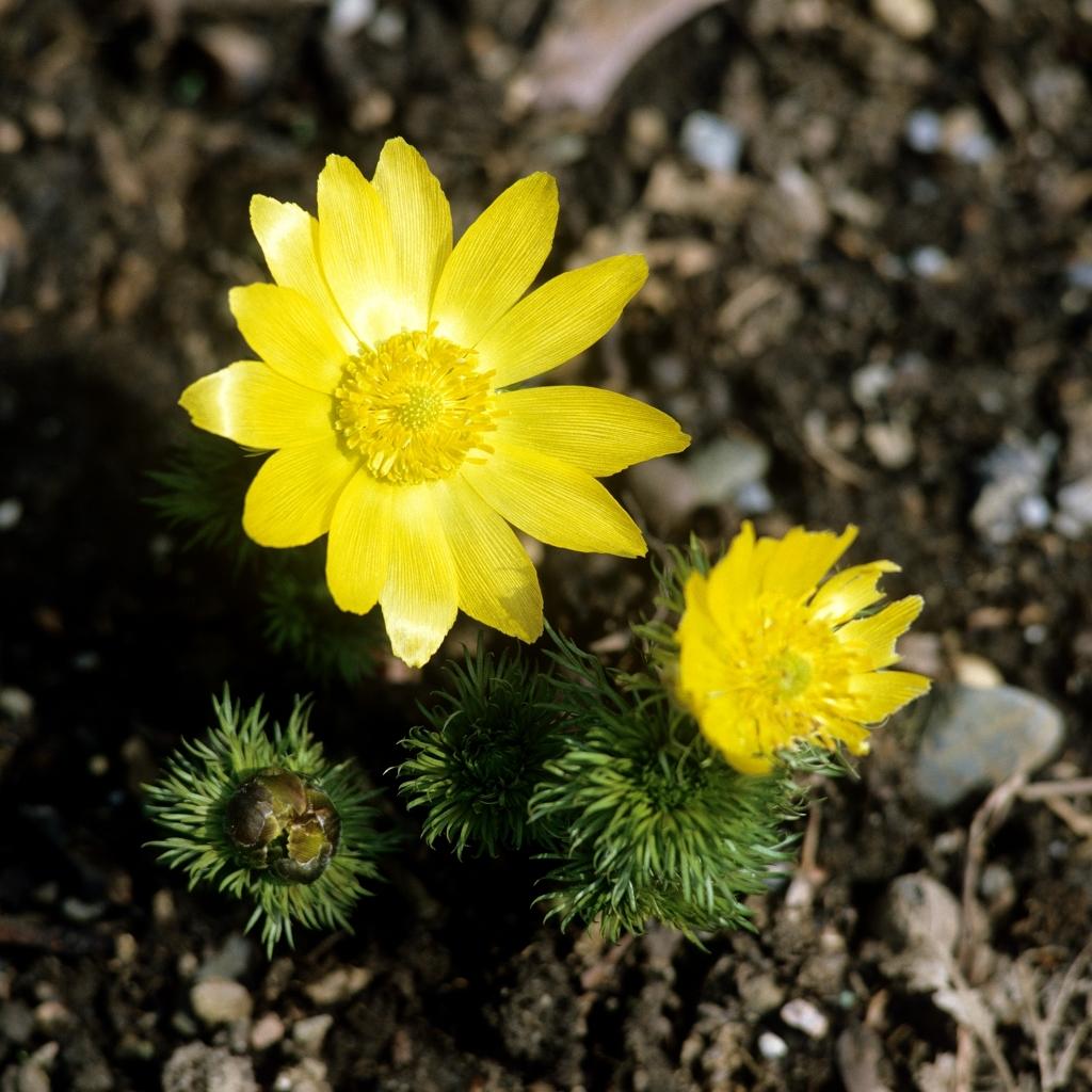 Espèces vivaces Adonide de printemps (Adonis vernalis)
