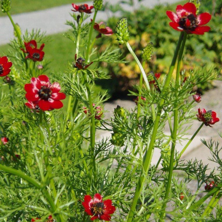 Espèce annuelle Adonide d'été, adonide goutte-de-sang (Adonis aestivalis)