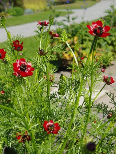 Adonide semer et planter comprendrechoisir - Plante goutte de sang porte malheur ...