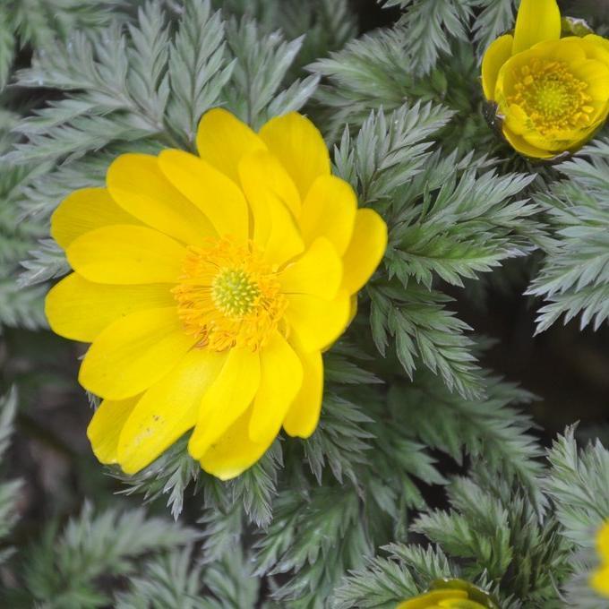 Espèces vivaces 'Flore Pleno' (Adonis amurensis)