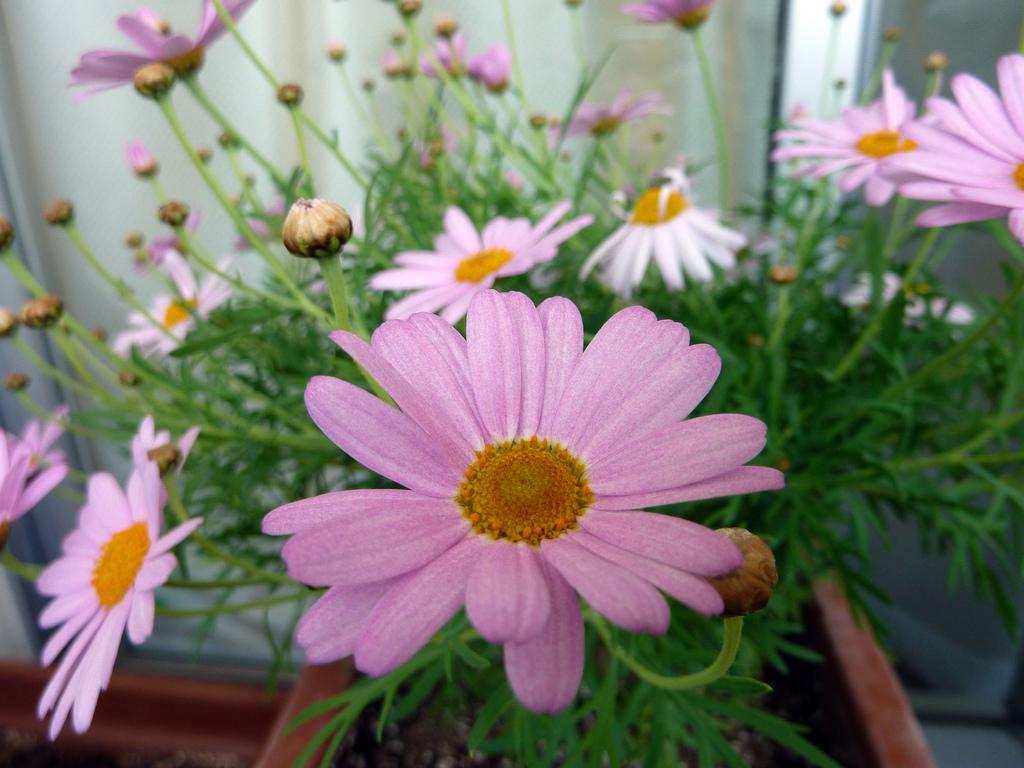 argyranthemum fructescens: planter et cultiver – ooreka