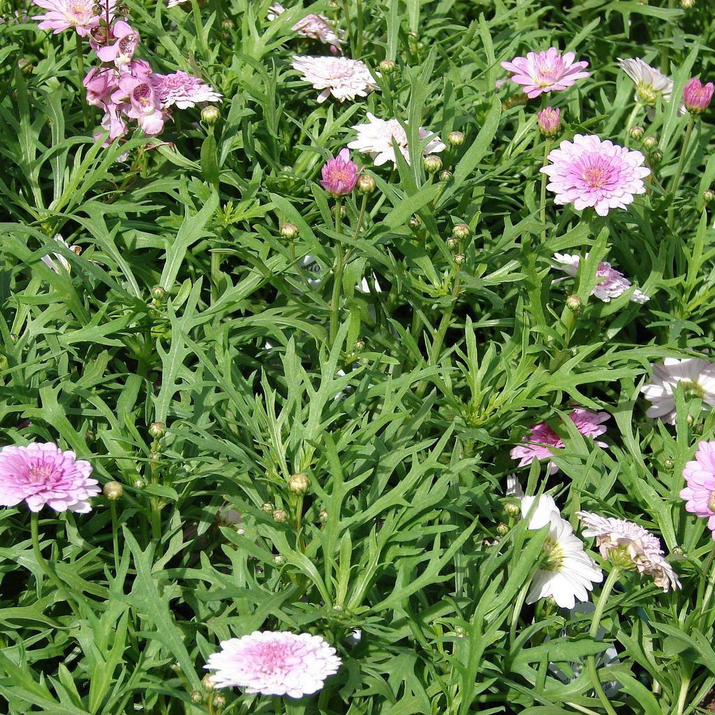 Argyranthemum fructescens planter et cultiver ooreka - Taille des rosiers apres floraison ...