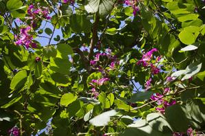 <h2>Plantation de <em>Bauhinia</em></h2>