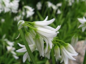 Semis et plantation de l'<em>Allium triquetrum</em>