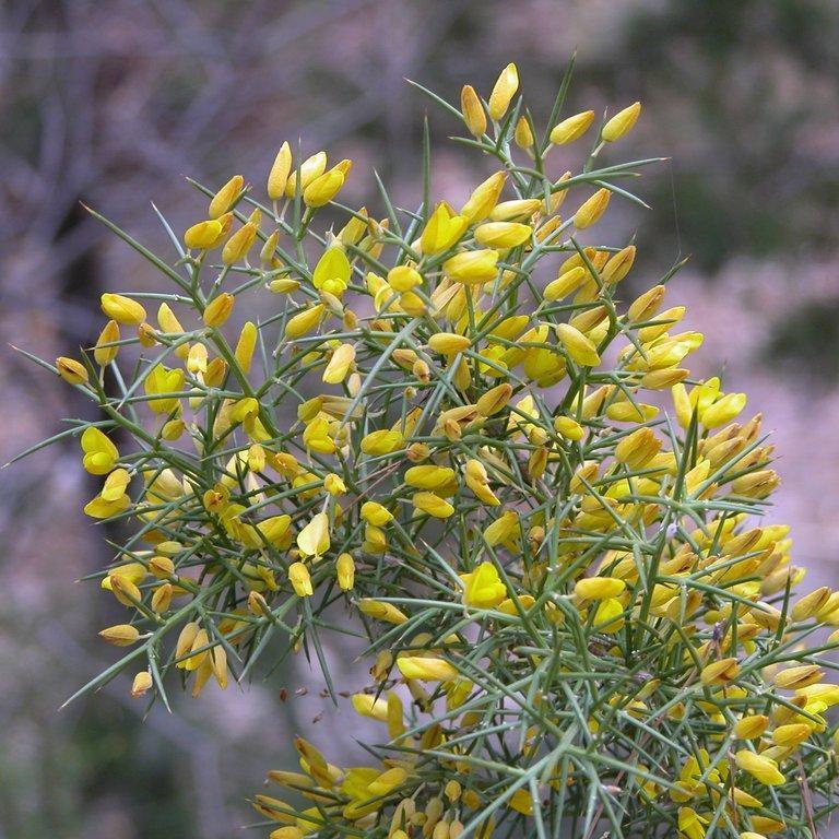 Ajonc de Provence (Ulex parviflorus) Espèce type