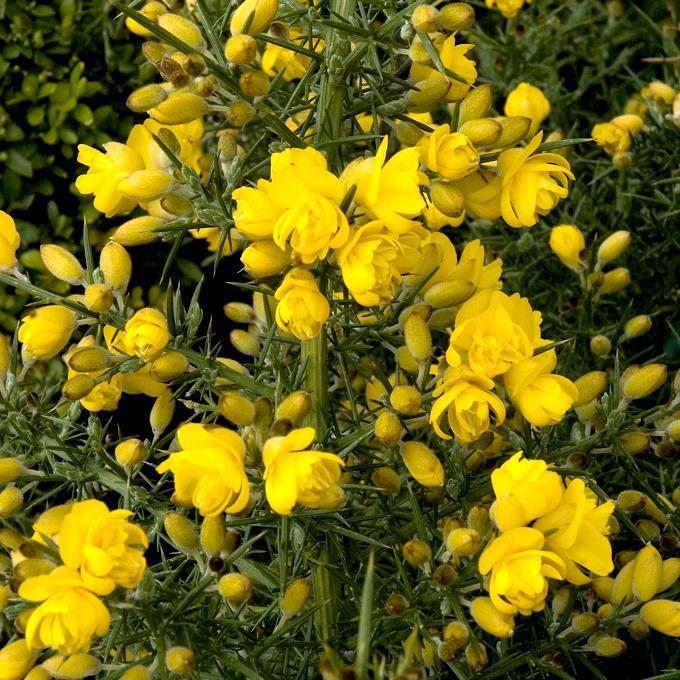 Ajonc d'Europe (Ulex europaeus) 'Flore Pleno'