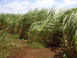 Culture et entretien de la canne à sucre