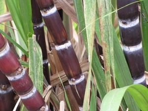 Plantation de la canne à sucre
