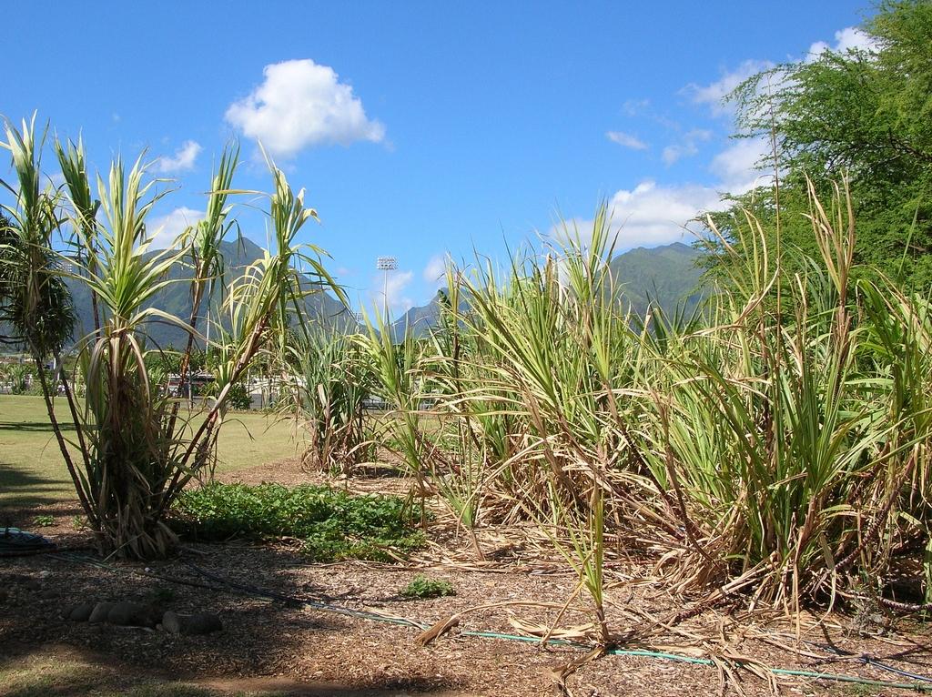 canne  u00e0 sucre   planter et cultiver  u2013 ooreka