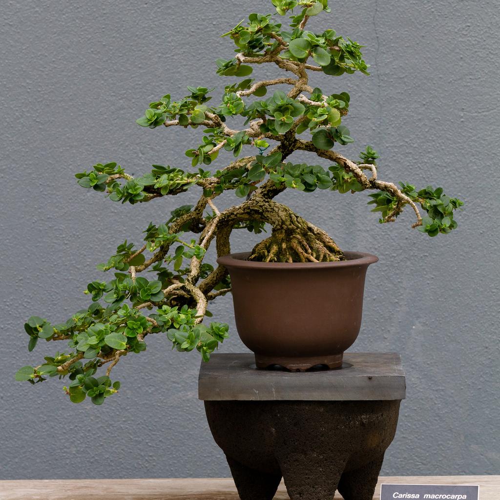 Carissa macrocarpa (syn. grandiflora)