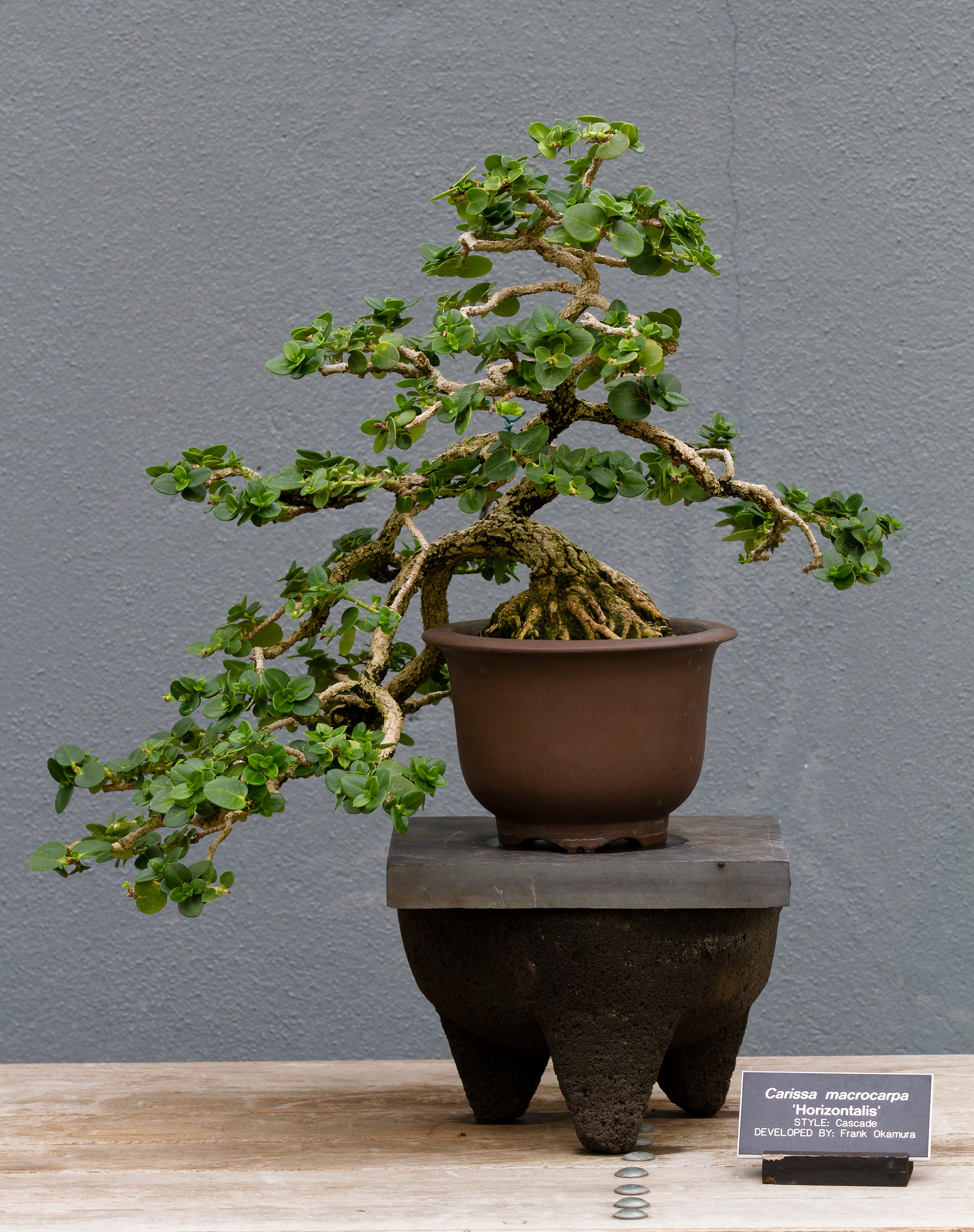 carissa : planter et entretenir – ooreka