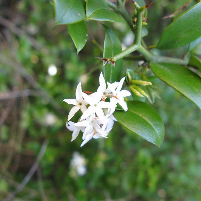 Carissa bispinosa