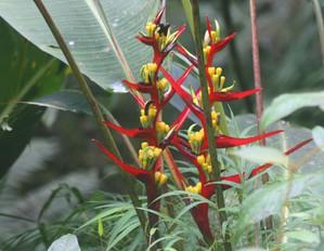 Plantation d'<em>Heliconia</em>