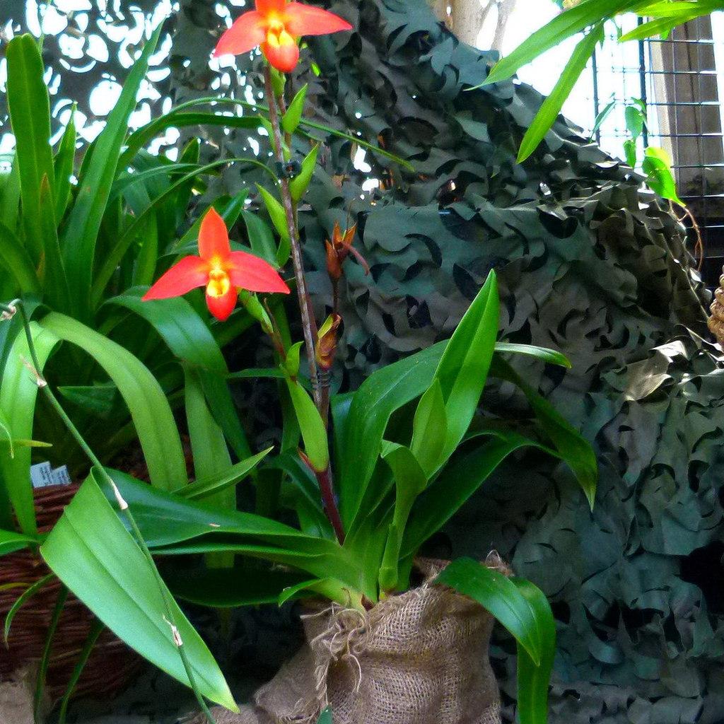 Espèces botaniques Phragmipedium besseae
