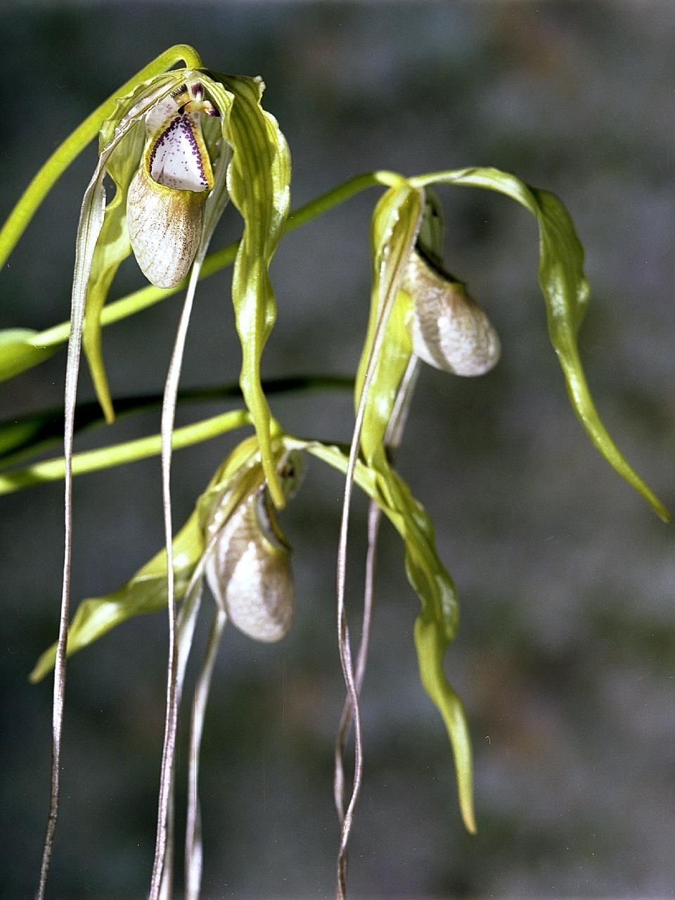 phragmipedium   plantation et entretien  u2013 ooreka