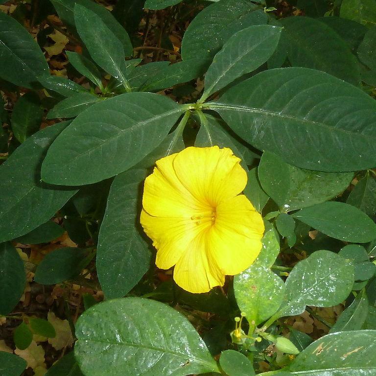 Reinwardtia indica (syn. trigyna)