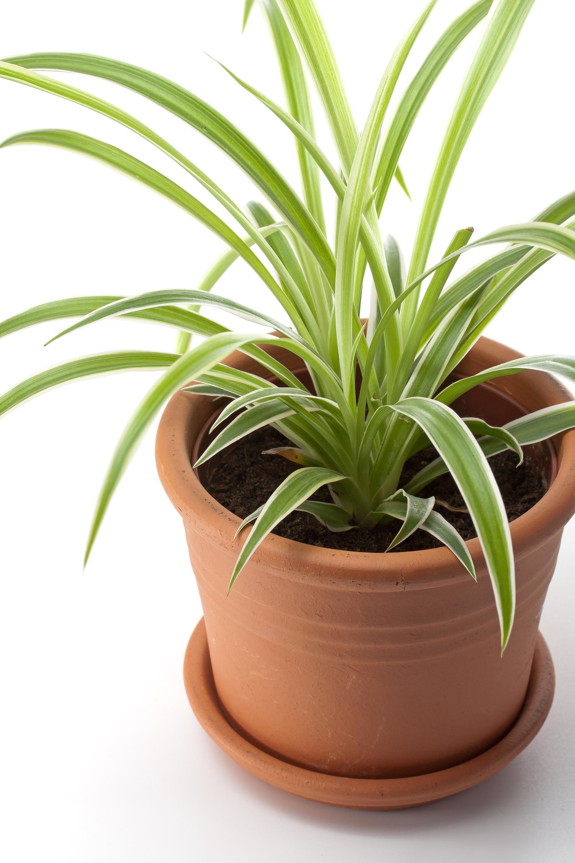 Drac na tailler et entretenir ooreka for Petite plante verte exterieur
