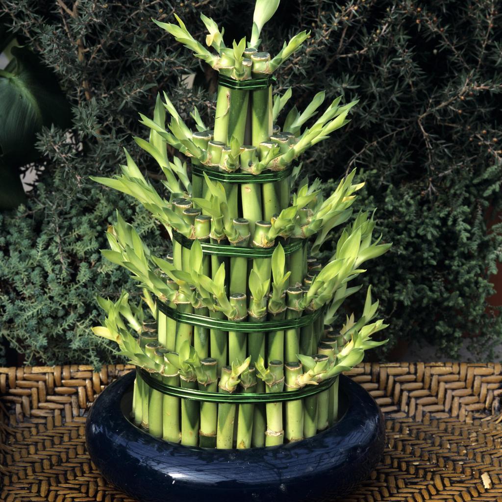 Dragonnier de Sander ou plante à ruban ou canne chinoise ou 'Lucky Bamboo' (Dracaena sanderiana)