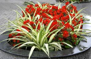 Plantation de chlorophytum