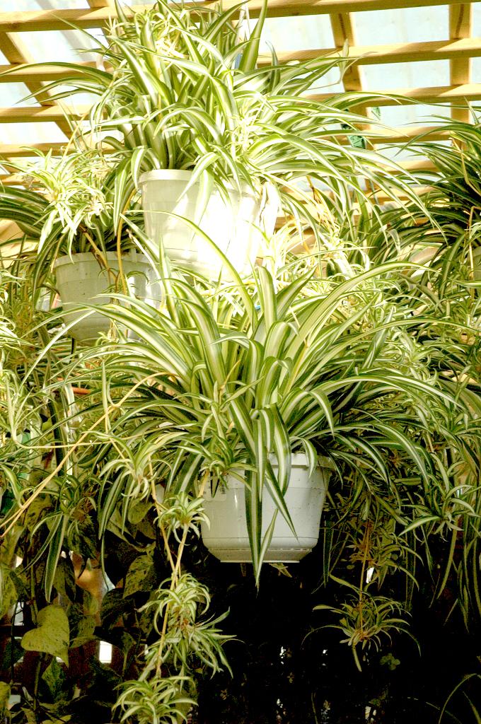 chlorophytum   planter et cultiver  u2013 ooreka