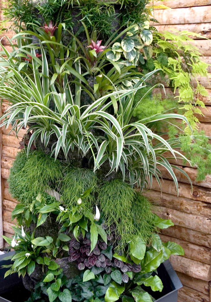 chlorophytum planter et cultiver ooreka. Black Bedroom Furniture Sets. Home Design Ideas