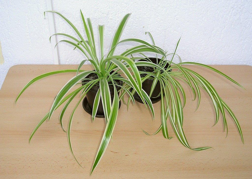 Chlorophytum planter et cultiver ooreka for Vert plante