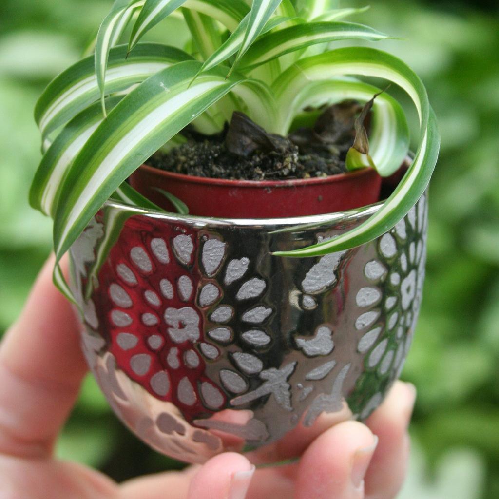 Chlorophytum comosum 'Atlantic'
