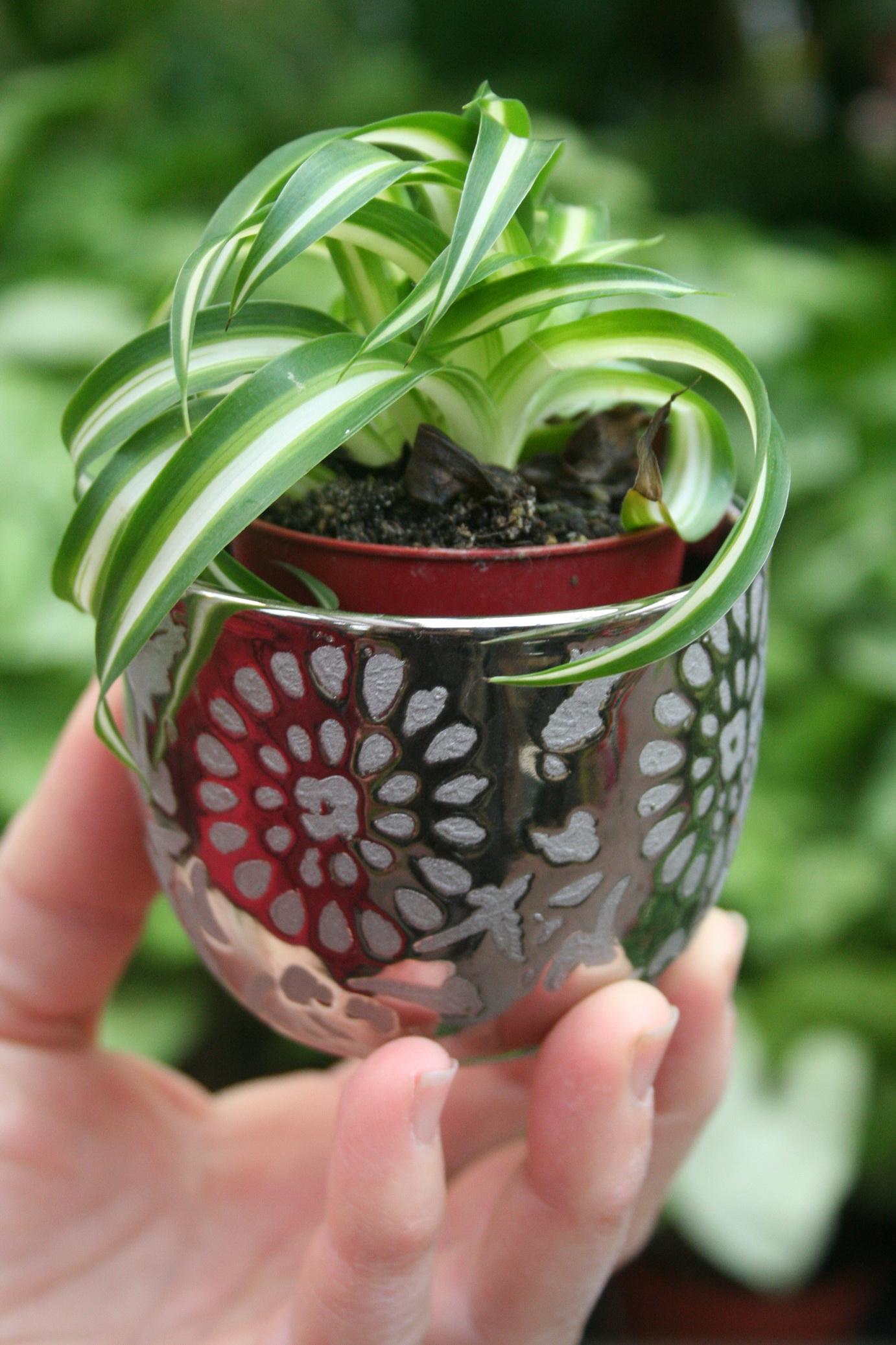 Plante Pour Cuisine Sombre chlorophytum : planter et cultiver – ooreka