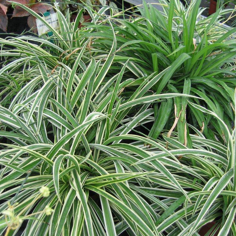 Chlorophytum comosum Espèce type