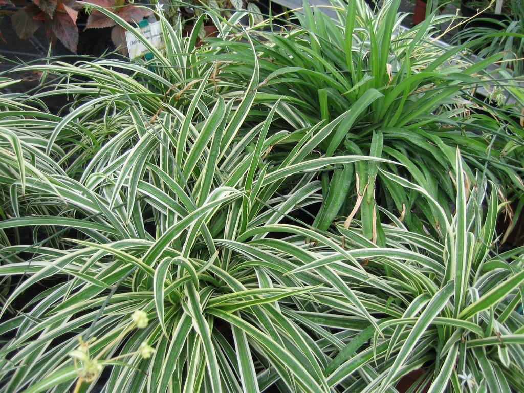 Chlorophytum planter et cultiver ooreka for Plante exotique exterieur