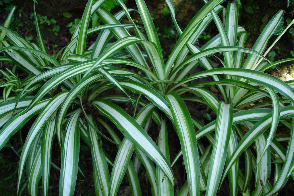 plante verte exterieur plante grande feuille verte exterieur with plante verte exterieur. Black Bedroom Furniture Sets. Home Design Ideas