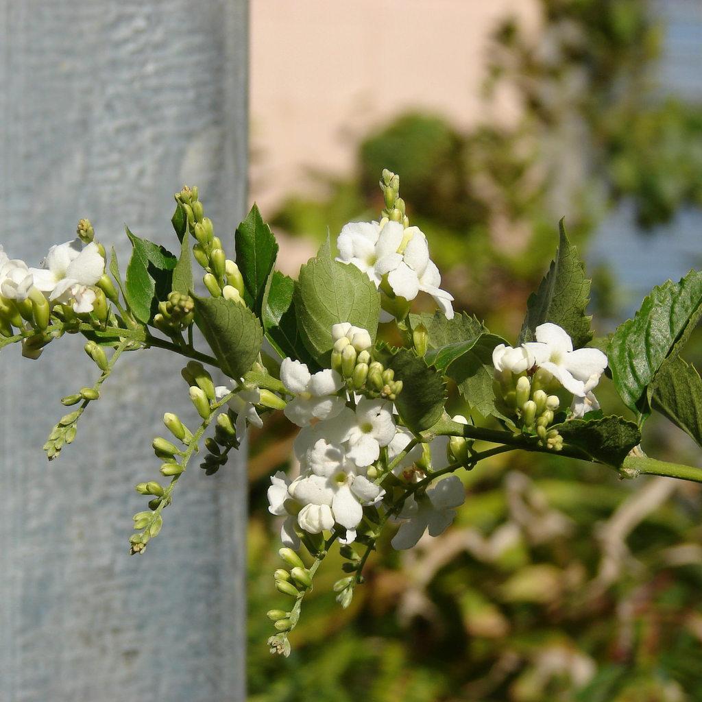 Duranta erecta (syn.: D. repens, D. plumieri) 'Alba'