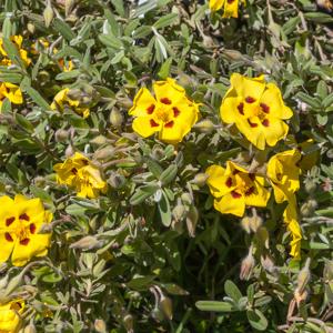 Halimium lasianthum (syn. H.formosum)