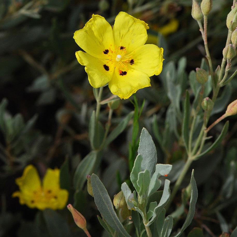 Ciste jaune, hélianthème à feuilles d'arroche (Halimium halimifolium, syn. Cistus halimifolius)