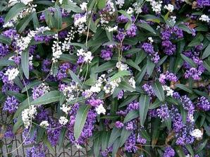 Plantation de l'<em>Hardenbergia</em>